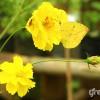 Kenikir (Cosmos caudatus). Foto: greeners.co/Ahmad Baihaqi (Indonesia Wildlife Photography)