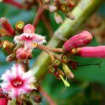 tanaman kina