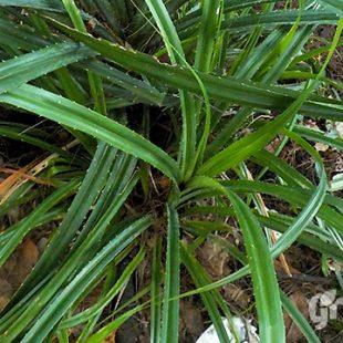 tanaman pandan