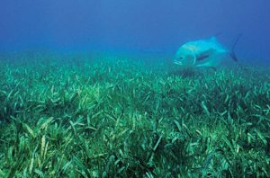 seagrass coverage