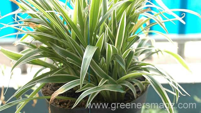 Spider Plant; Tanaman Digantung, Toksik Diserap