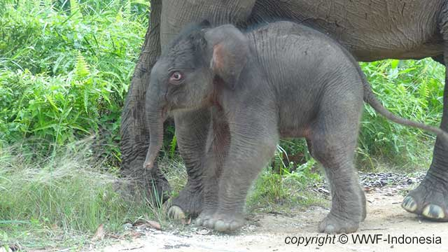 Anak Gajah Sumatera (Elephas maximus sumatrensis) lahir 7 Agustus 2013 di TN Tesso Nilo, Riau