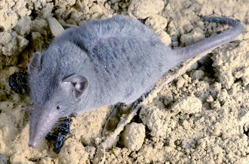66+ Gambar Binatang Seperti Tikus Gratis