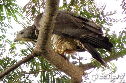 Sikep madu asia (Pernis ptilorhynchus). Foto: greeners.co/Abay & Sumaraja