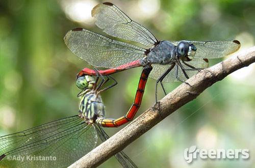 Capung ekor darah (Lathrecista asiatica). Foto: greeners.co/Ady Kristanto