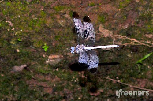 Capung sambar putih (Zyxomma obtusum). Foto: greeners.co/Gusti Wicaksono