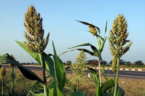 Terdapat sekitar 30 spesies tanaman sorgum yang sudah diidentifikasi. Tanaman yang dapat hidup baik di lahan kering ini memiliki kandungan serat dan protein yang lebih tinggi dari pada beras. Foto: www.pixabay.com