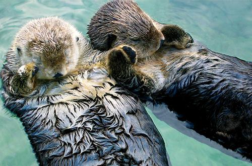 Seekor berang-berang laut tengah berpegangan tangan dengan sesamanya. Foto: wikimedia.org