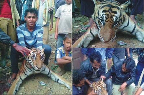 Sekelompok warga Desa Sibide, Kecamatan Silaen, Kabupaten Tobasa, Sumatera Utara, menjerat harimau Sumatera (Panthera tigris sumatrae). Sumber: Ist.