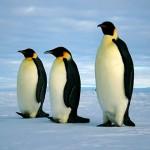 populasi penguin