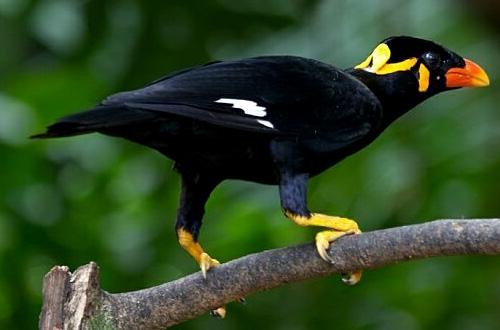Image result for beo nias - Flora Dan Fauna Khas Sumatera Utara