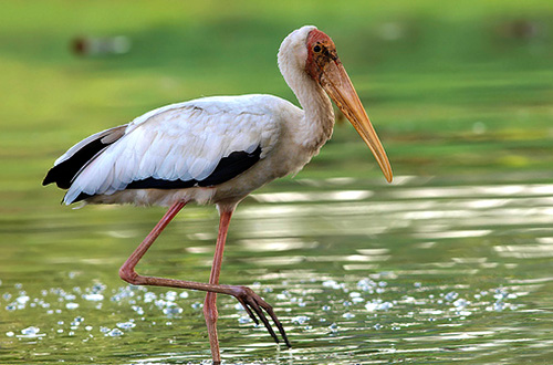 Burung Bangau Bluwok (Mycteria cinerea)