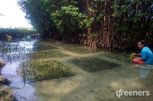 Komunitas mobil klasik Thousands Car March menyumbang 100.000 bibit mangrove dan 800 koral untuk ditanam di perairan Kepulauan Seribu. Foto: greeners.co/Danny Kosasih