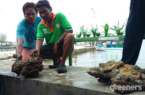 Tokoh masyarakat di Kepulauan Seribu yang juga Penanggung Jawab kegiatan penanam mangrove dan adopsi koral, Mahmudin atau akrab disapa May (mengenakan kaus hijau) memegang bibit koral yang akan ditanam dilaut. Foto: greeners.co/Danny Kosasih