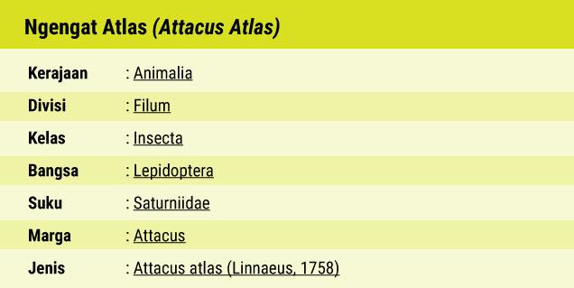 Fauna_Ngengat_Atlas_Kupu_Kupu_Malam_Terbesar_di_Dunia_03