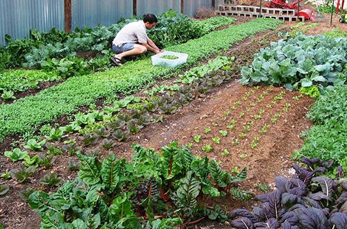 Pangan Mandiri Pangan dengan Berkebun - Cara Membuat Kebun Sayuran dirumah mudah dan simple