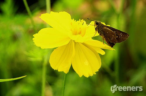 Kenikir (Cosmos caudatus). Foto: greeners.co/Ahmad Baihaqi (Indonesia Wildlife Photography)