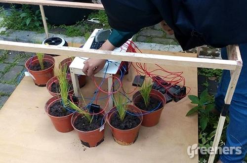Salah satu mahasiswi melakukan pengecekan terhadap tanaman padi yang diujicobakan untuk menghasilkan aliran listrik. Foto: greeners.co/HI