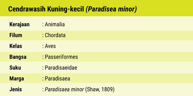 Fauna Cendrawasih Kuning Kecil, Burung Surga yang Tersesat di Ibukota_02