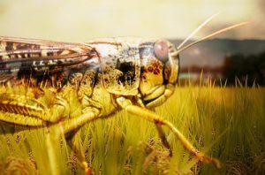 hama belalang kembara