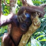 orangutan status