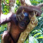 status orangutan