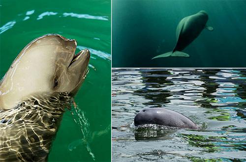lumba-lumba tanpa sirip