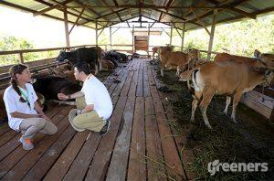 peternakan sapi