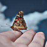 populasi kupu-kupu
