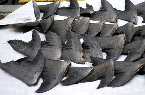 sirip hiu