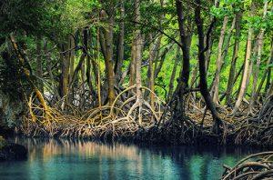 habitat mangrove