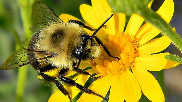 lebah asli amerika