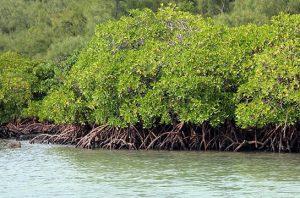 500 hektare mangrove