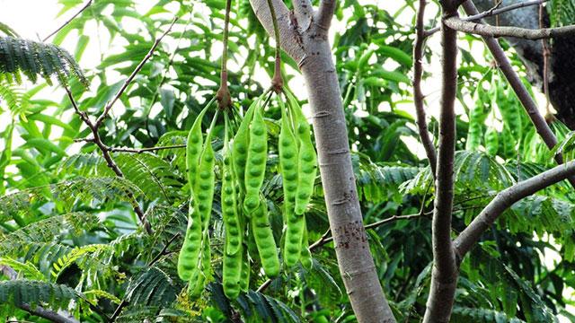tanaman petai
