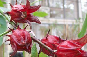 tanaman rosella