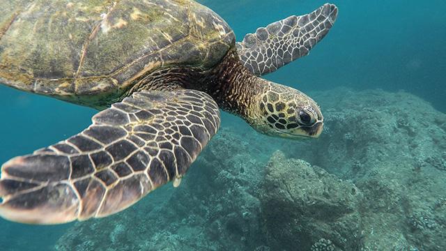sea turtles population