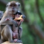 monyet ekor panjang