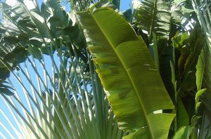pohon pisang kipas