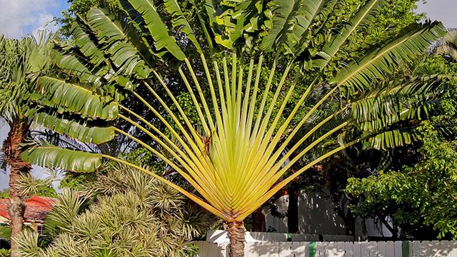 Pohon Pisang Kipas, Pohonnya Para Petualang - Greeners.Co