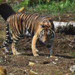 pusat rehabilitasi harimau