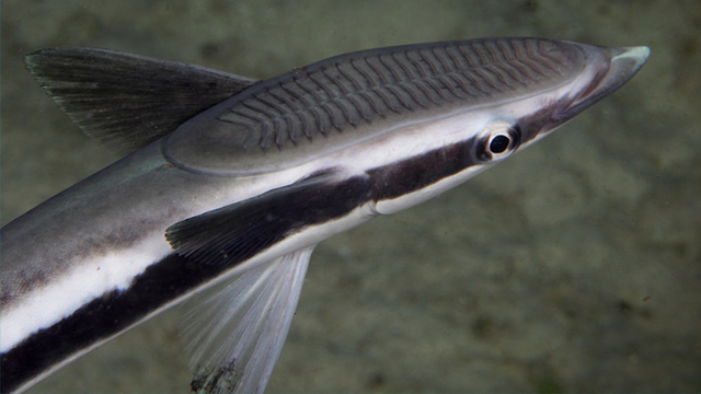 Ikan Remora, Sahabat Hiu - Greeners Co