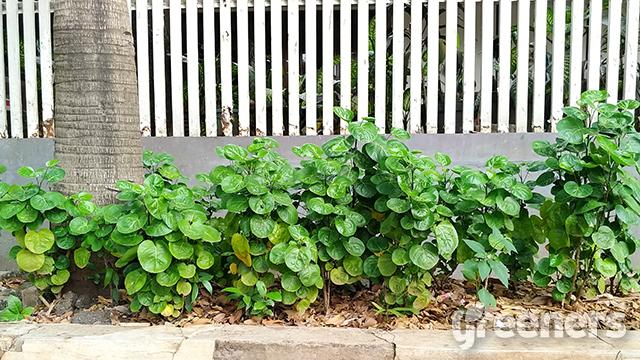 tanaman mangkokan