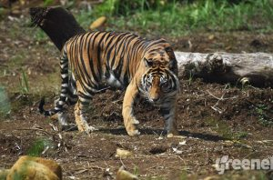 sumatran tiger rehabilitation center