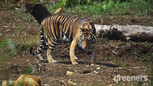 sumatran tiger rehabilitation center