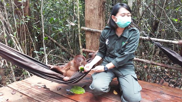 konservasi orangutan