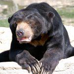 beruang matahari