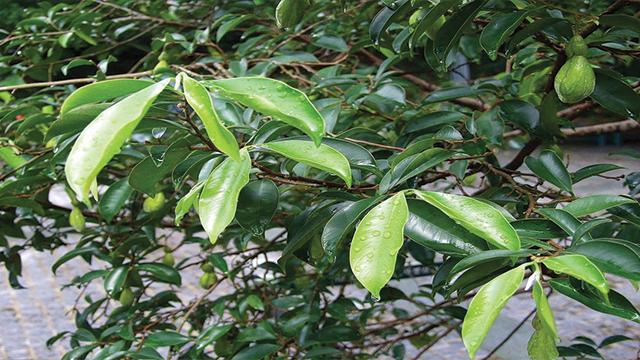 tanaman gaharu