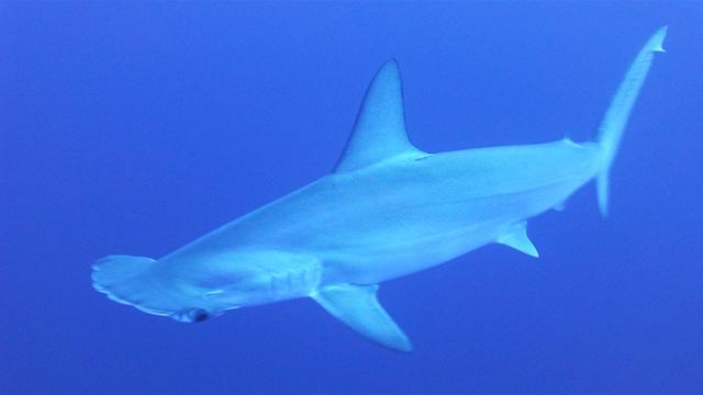hiu martil