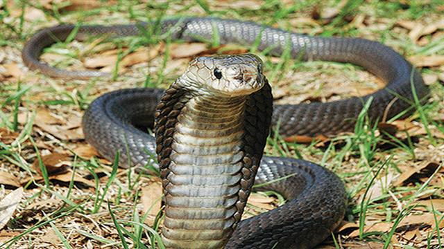 ular sendok jawa