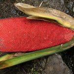 buah asal papua